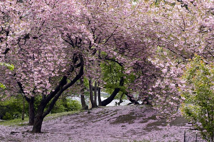 Printemps japonais japon passion de sylv1 - Greffe du cerisier au printemps ...