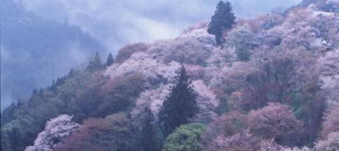 japon-montagne-Yoshinoyama-cerisier-naraclickjapan.org