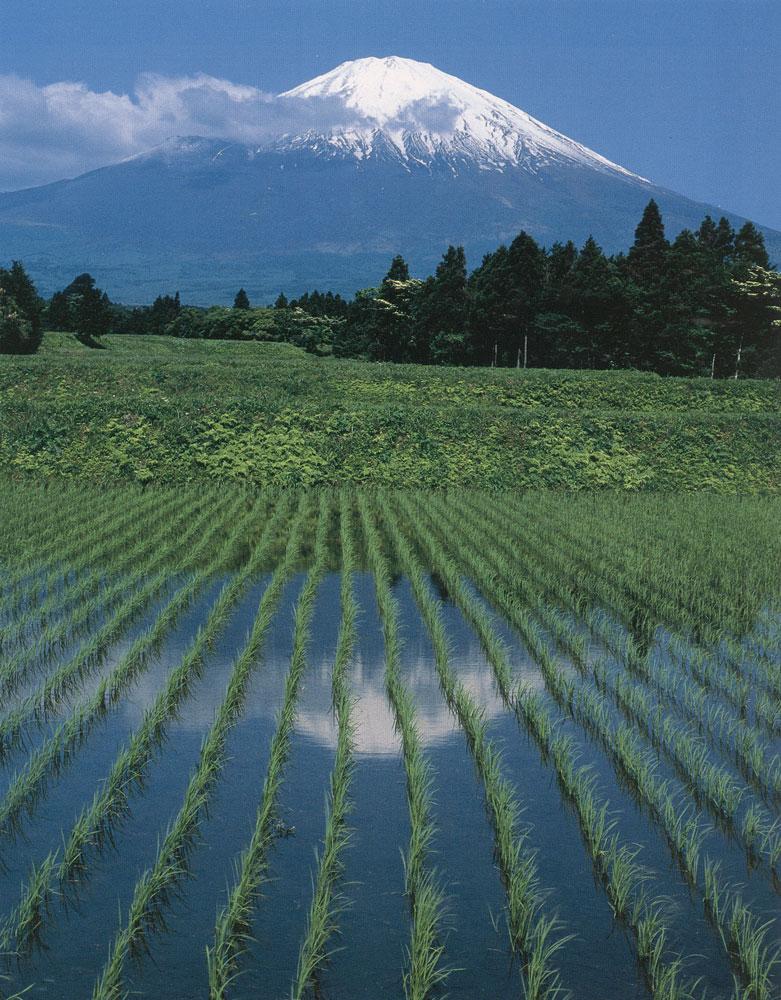 Rizi res du japon japon passion de sylv1 - Culture de la truffe ...