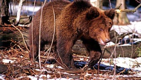 Japon: dix ours se rendent dans la ville de Sapporo © RIA Novosti. Oleg Lastochkin